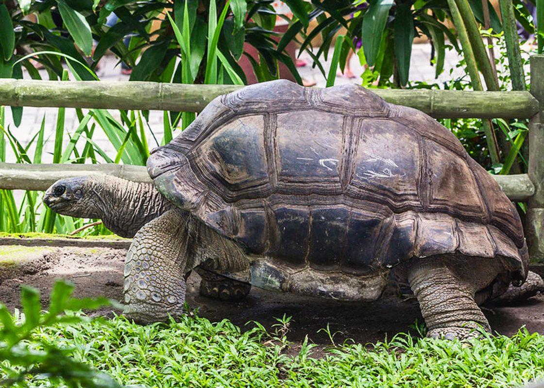 aldabra_giant_tortoise_aldabrachelys_gigantea_gembira_loka_zoo_2015-03-15-copy